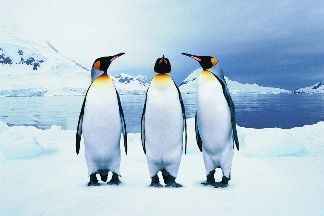 GettyImages-dv528036_Three King Penguins on ice.jpg